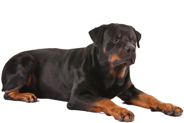 Mad clipart rottweiler. Dog breed information pinterest