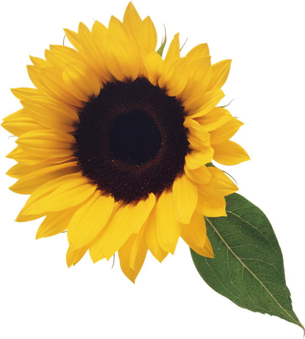 With leaf gallery yopriceville. Clipart fall sunflower