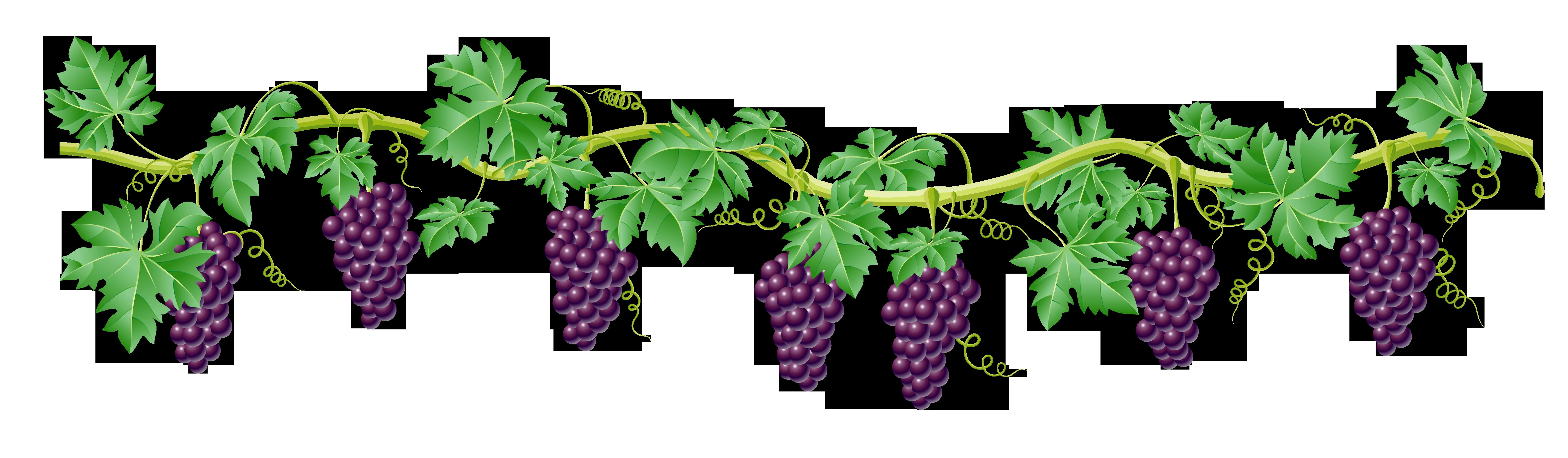 Grape clipart vine clip art. Decorative element png picture