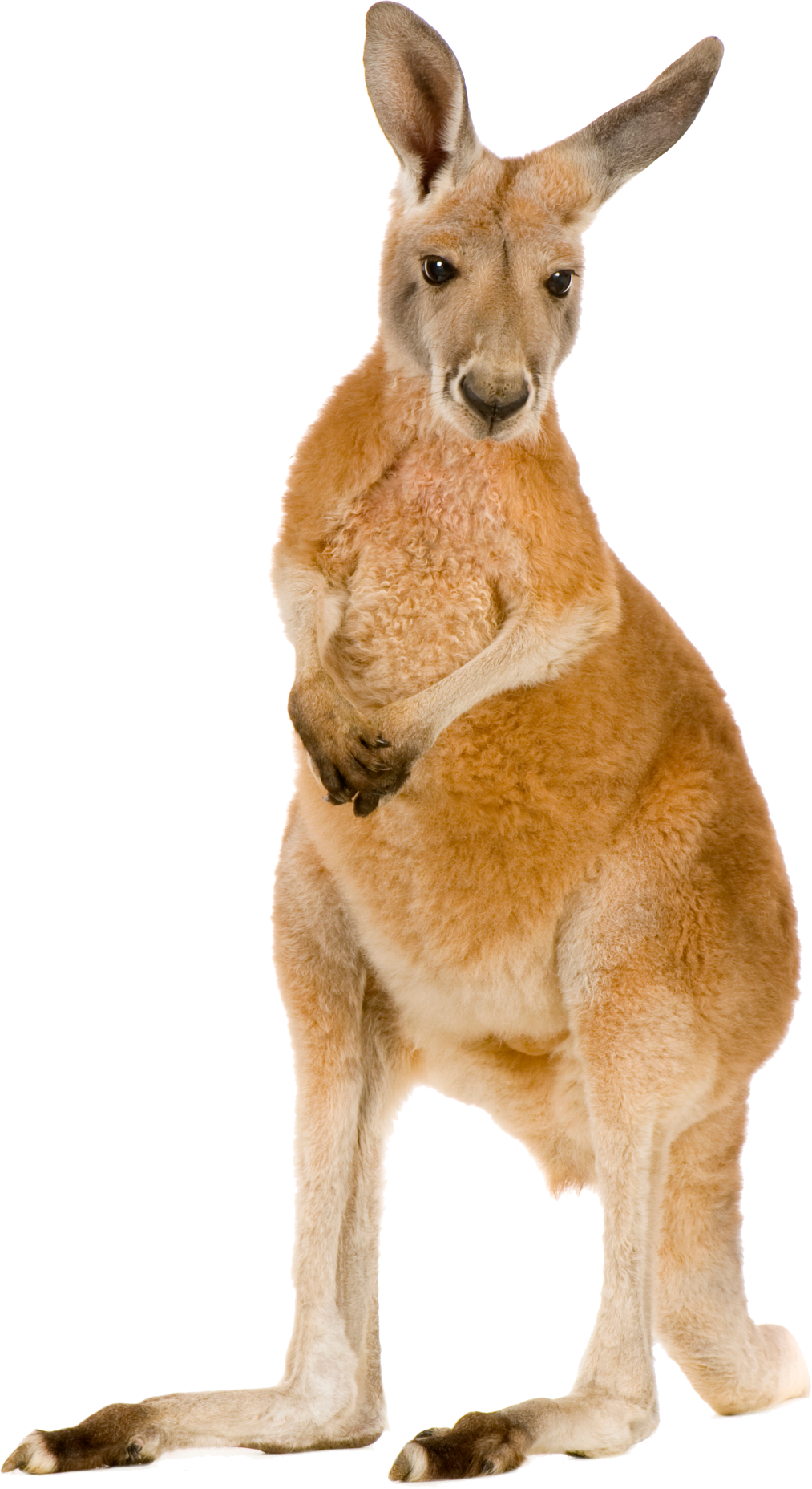 Png transparent images all. Kangaroo clipart foot