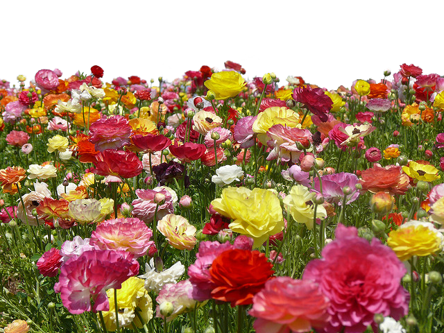Flower farm png use. Clipart roses file