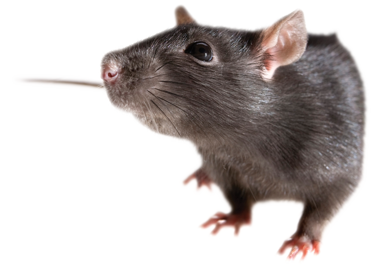 Rat clipart little mouse. Mice png free images