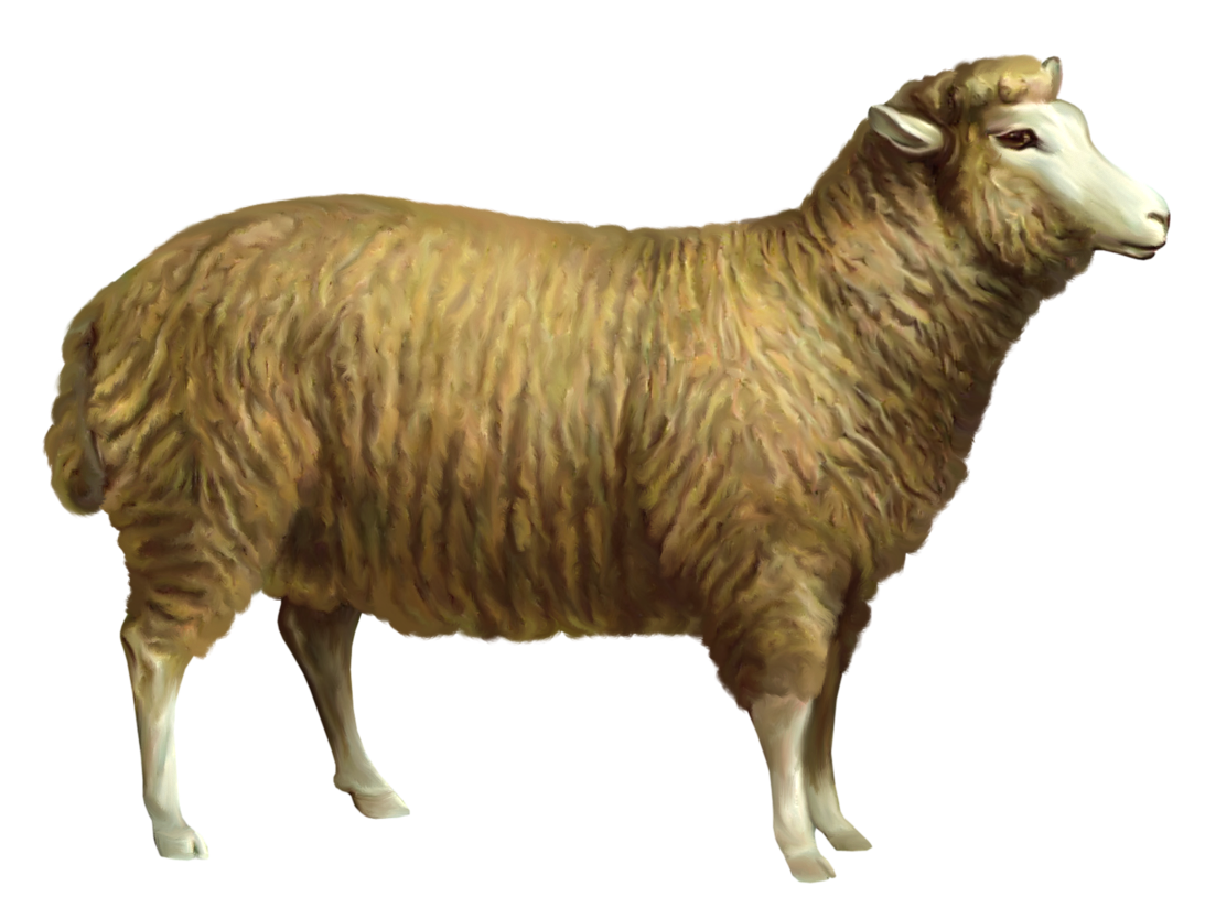 Sheep png picture animals. Lamb clipart realistic