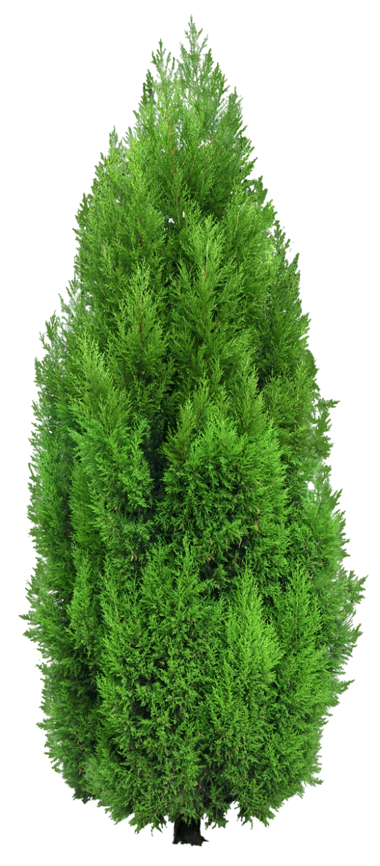 Clipart forest texture. Cypress tree png render