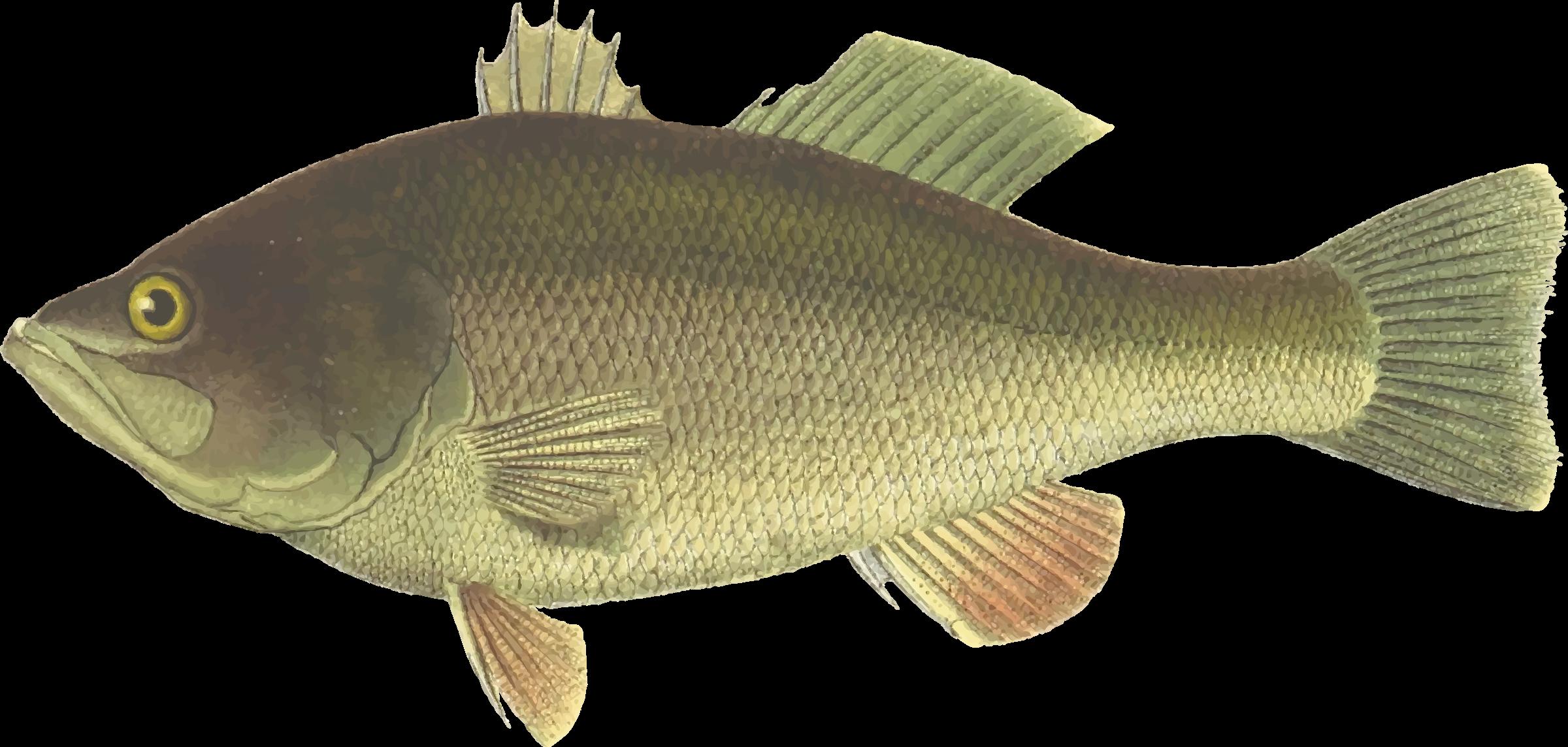 Black big image png. Fish clipart bass