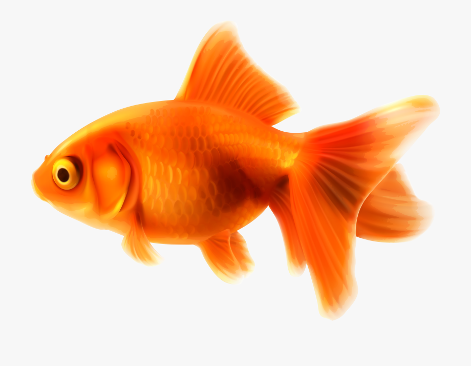 Goldfish clipart face. Gold fish png free