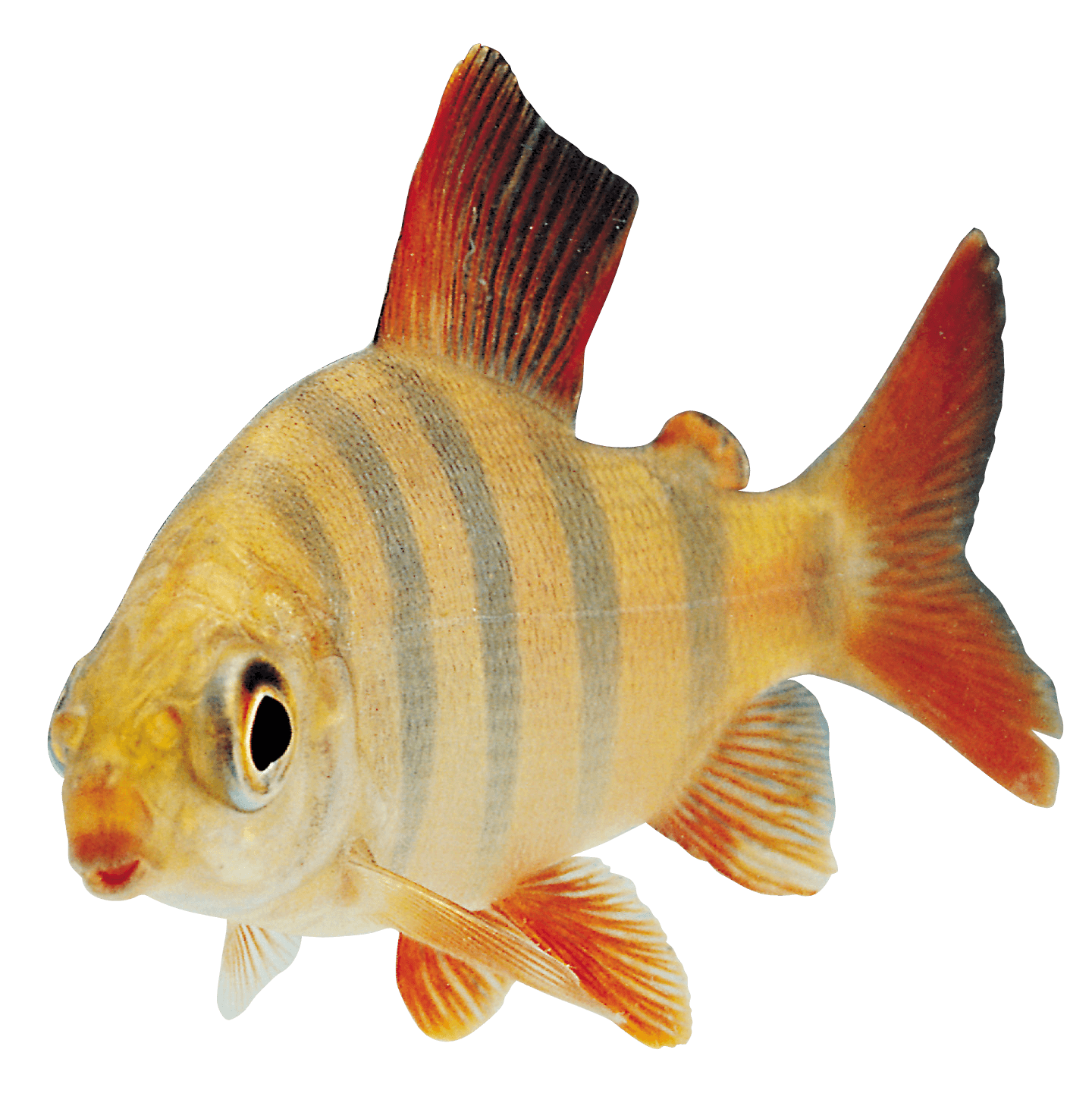 Orange sideview transparent png. Clipart fish side view