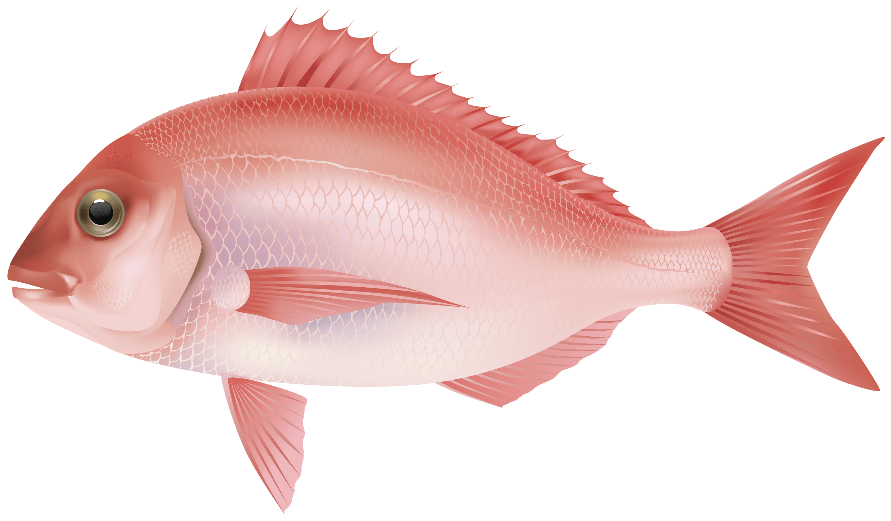 Clipart fish side view. Rose transparent png stickpng