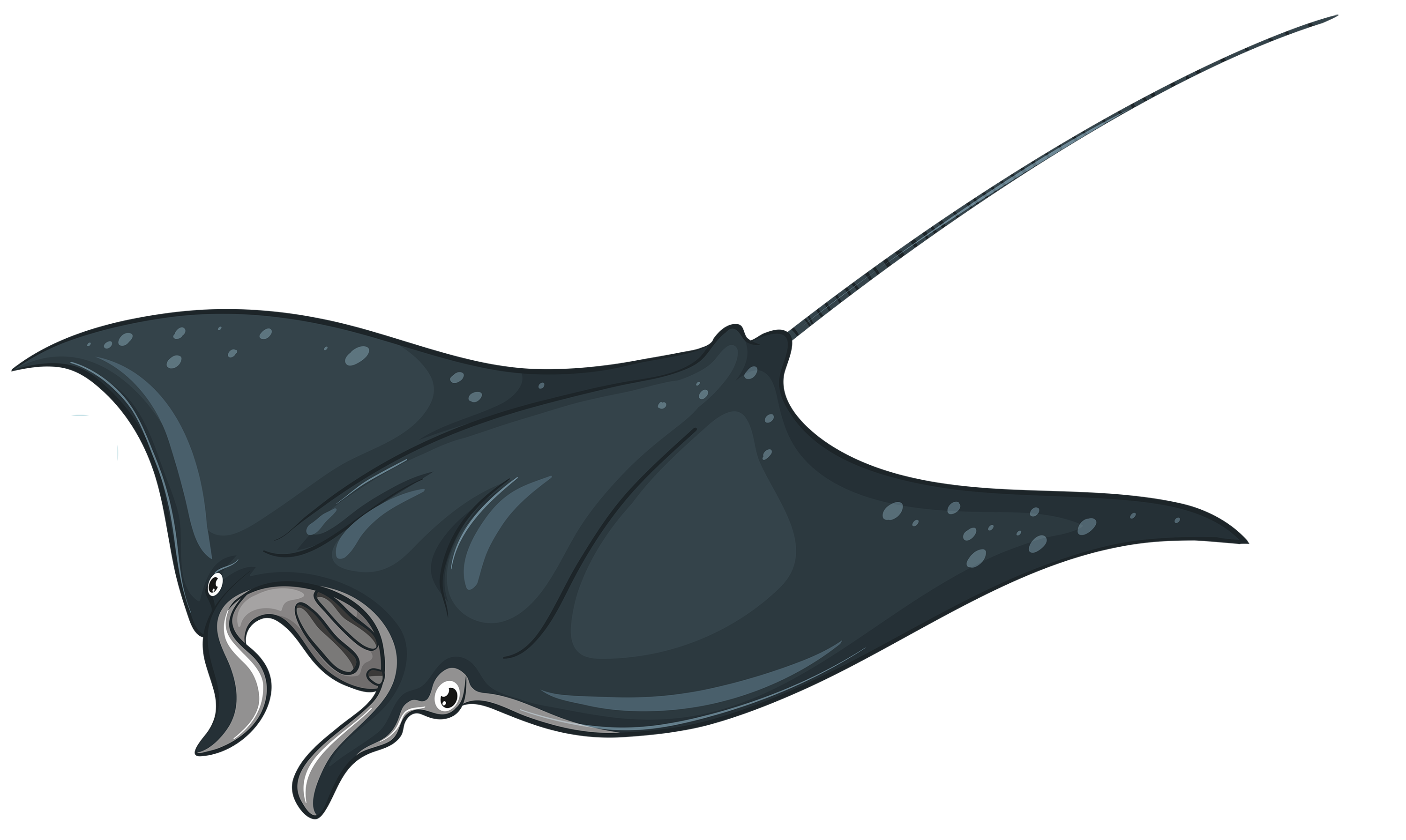 Squid clipart sting ray. Skate fish png best