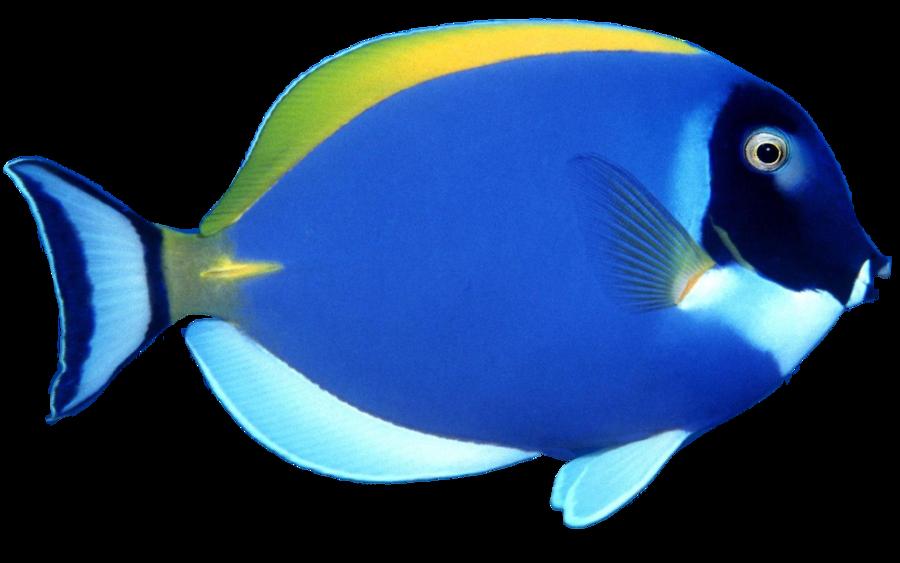 Blue fish png image. Ocean clipart underwater