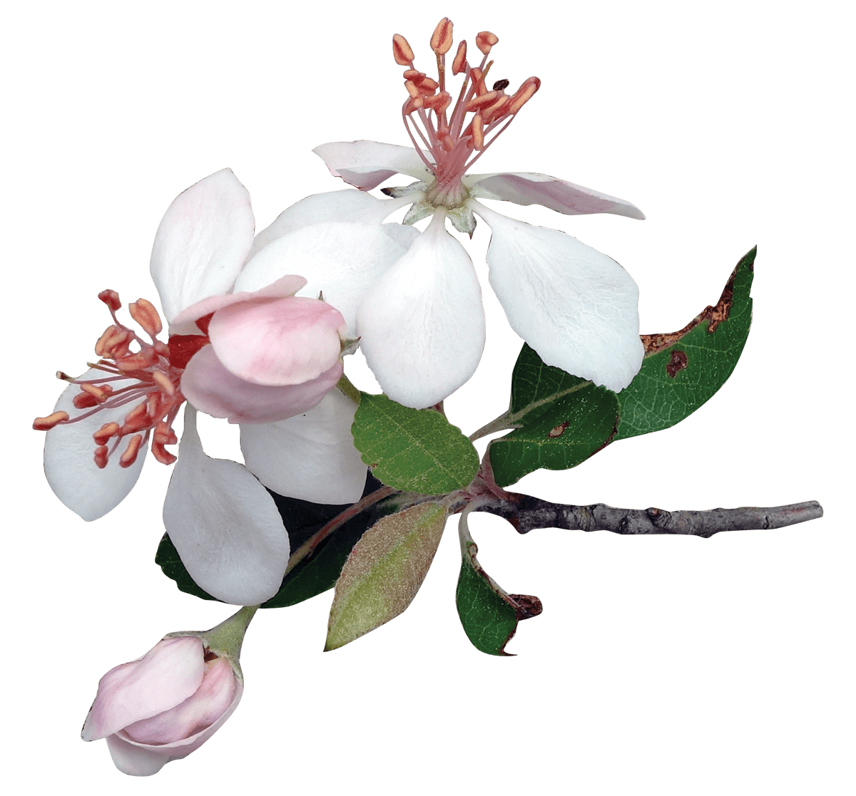 Various flowers transparent images. Magnolia flower png