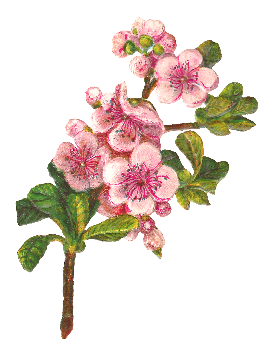 Clipart rose apple tree. Antique images botanical art