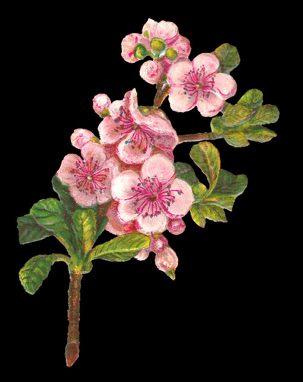 Clipart roses apple tree. Antique images botanical art