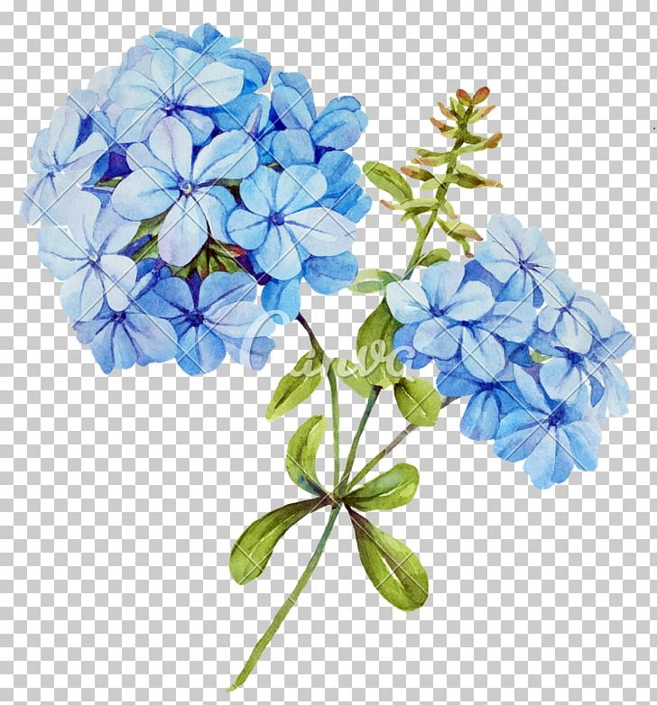 Lily clipart blue jasmine. Flower stock photography png