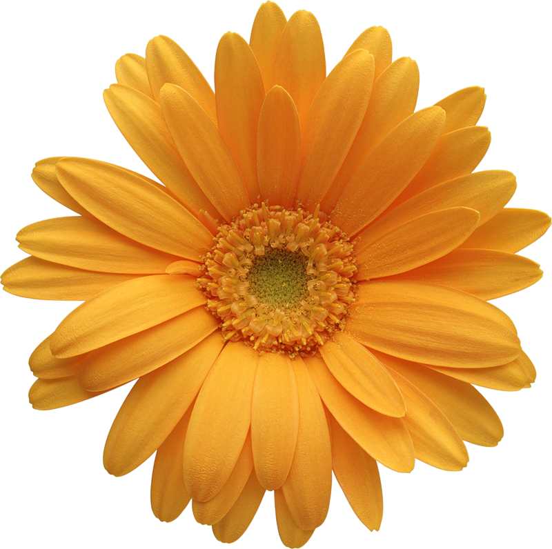 Orange gerber clipart gallery. Daisy flower png