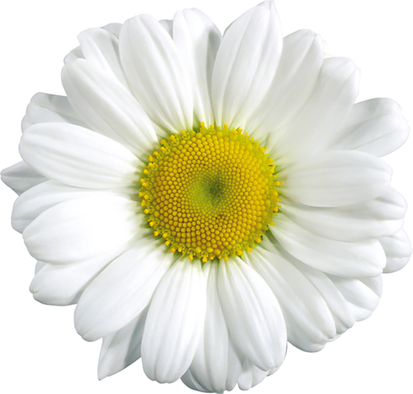 Http favata rssing com. Clipart flowers daisy