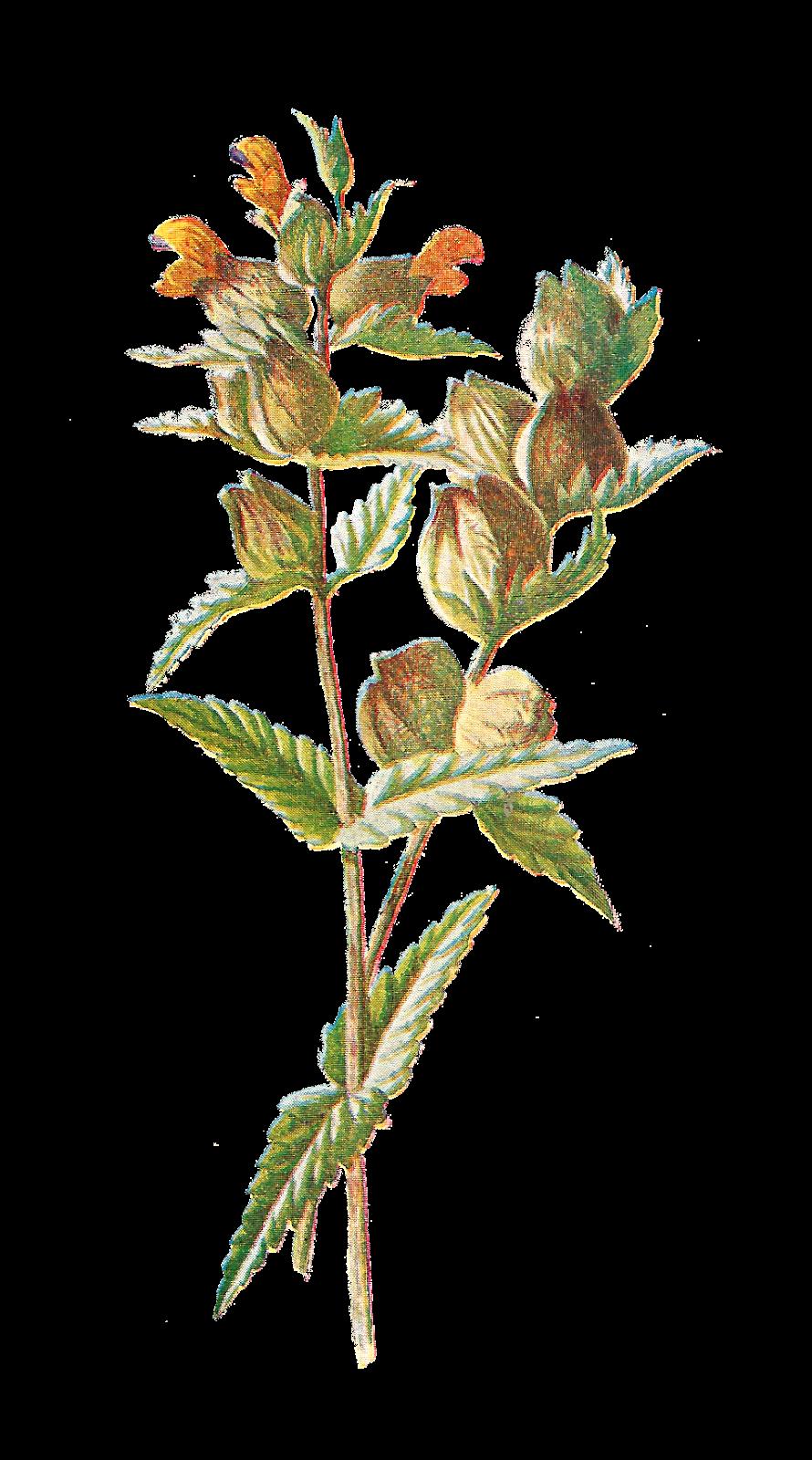 Antique images free digital. Flowers clipart illustration