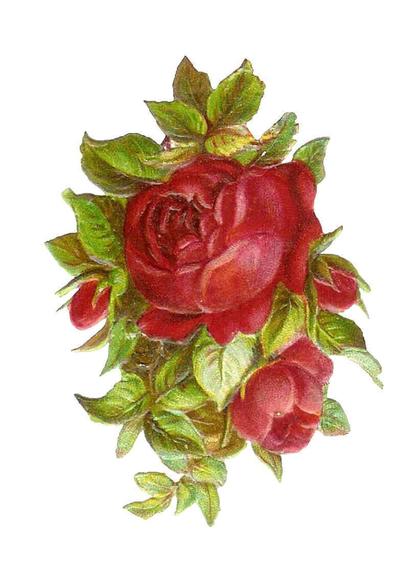 poppy clipart vintage botanical #139447087