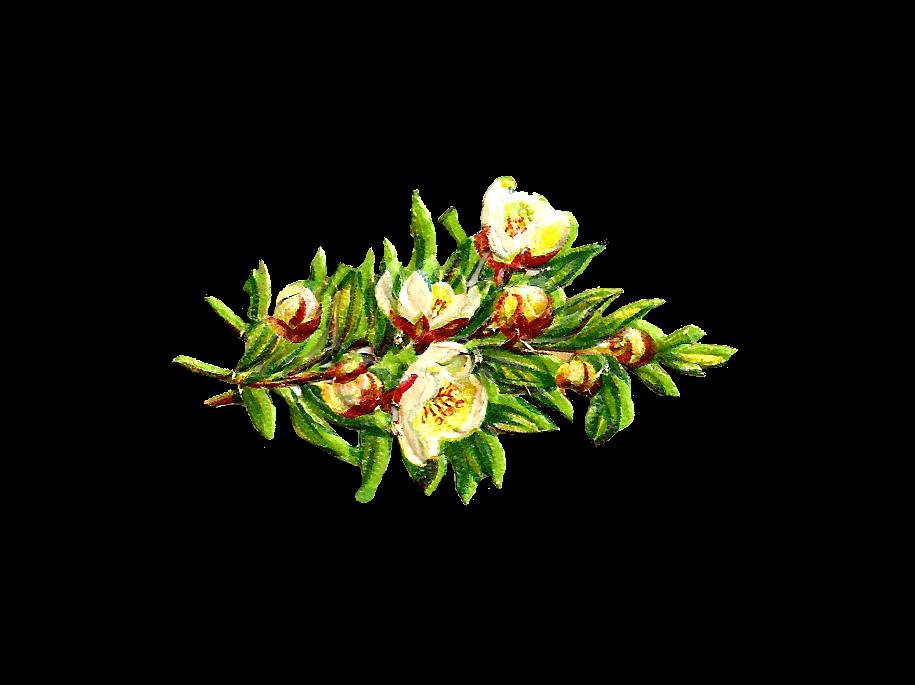 Antique images free clip. Flower clipart digital