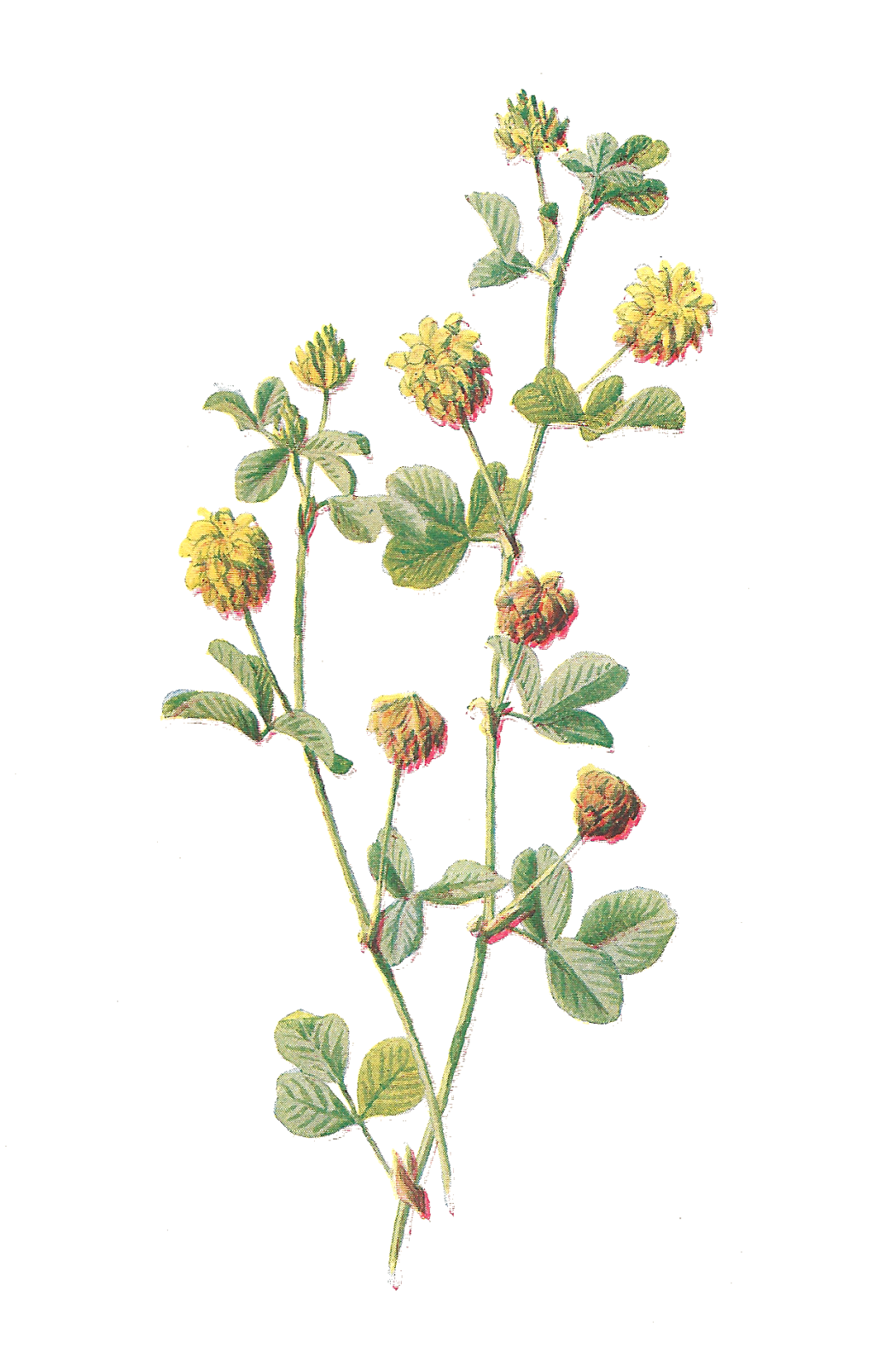Poppy clipart vintage botanical. Antique images free flower