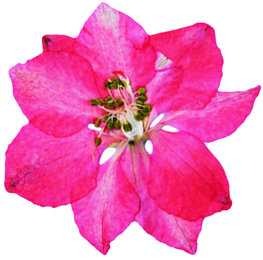 Pressed pink by jeanicebartzen. Flowers clipart larkspur