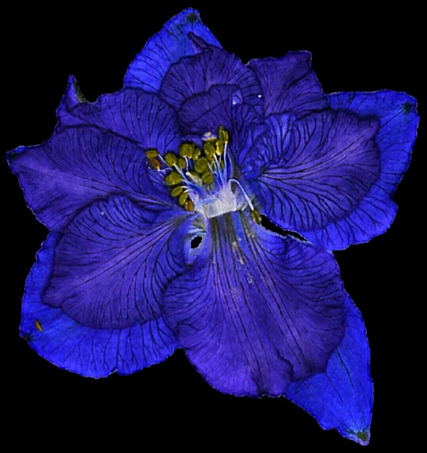 Flowers clipart larkspur. Pressed blue by jeanicebartzen