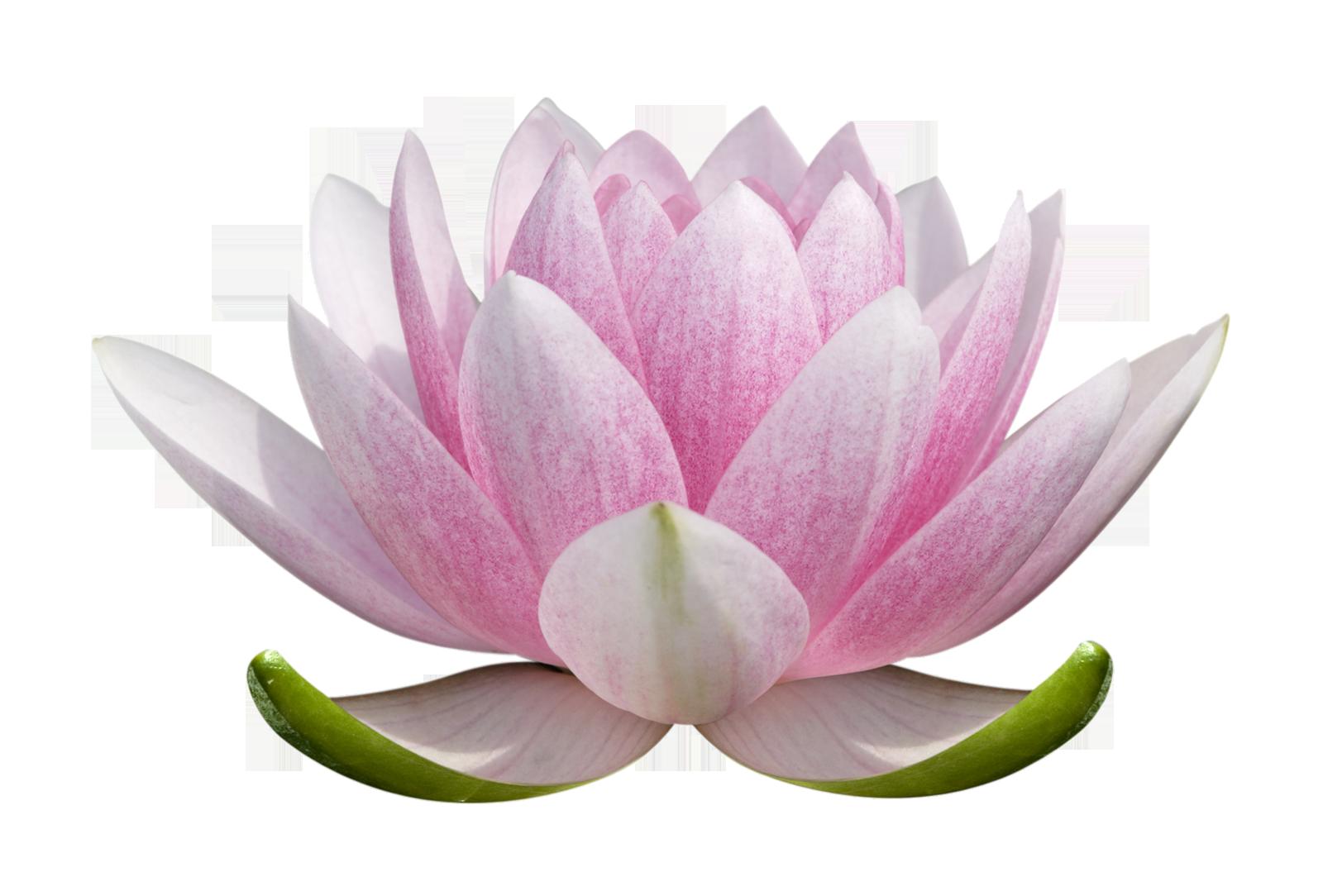 Images free download beautiful. Lotus flower png
