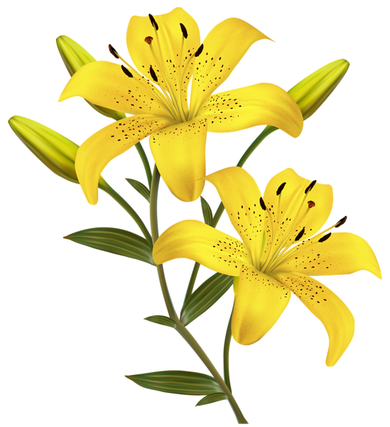 Flowers clipart yellow. Lilies png image travel