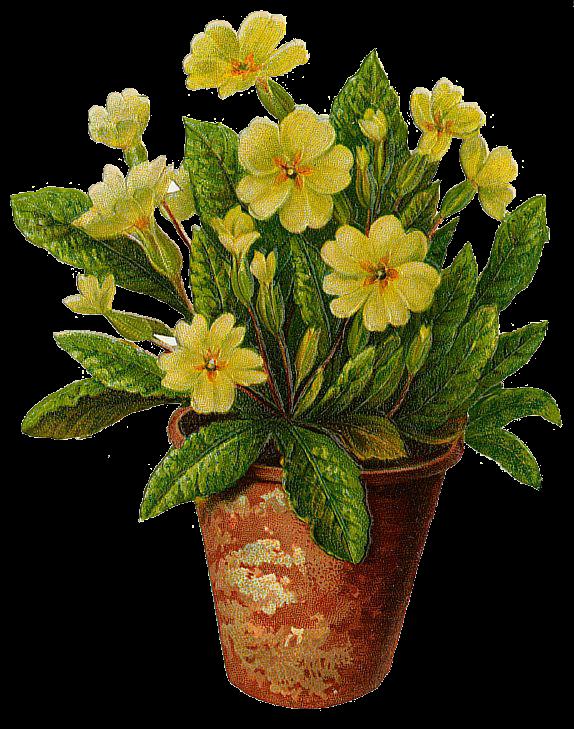 Transparent images pluspng primroses. Flower pot png