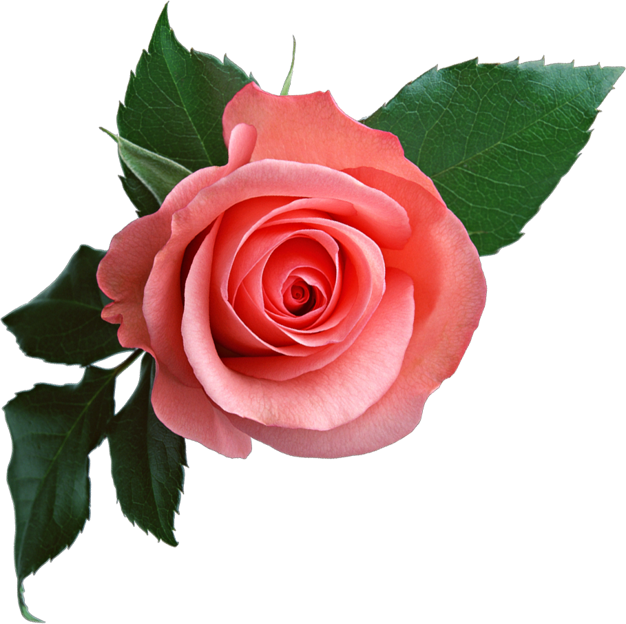 Flower png clipart. Pink rose