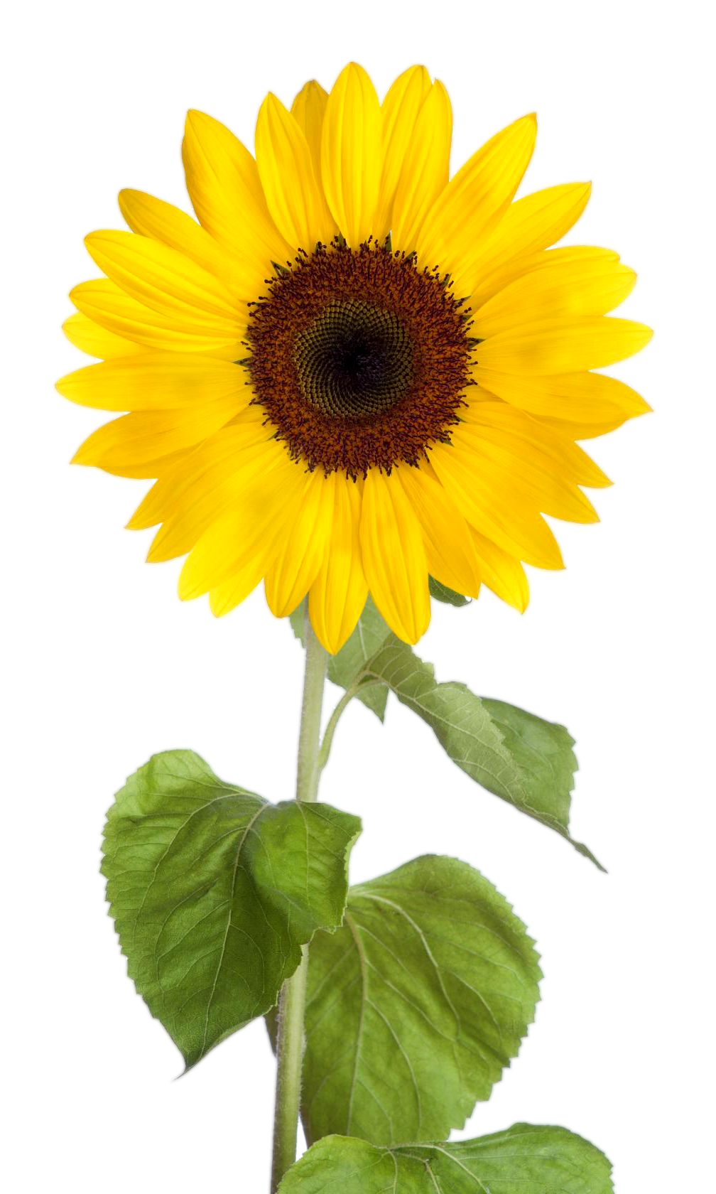 Clipart png sunflower. Images with transparent background