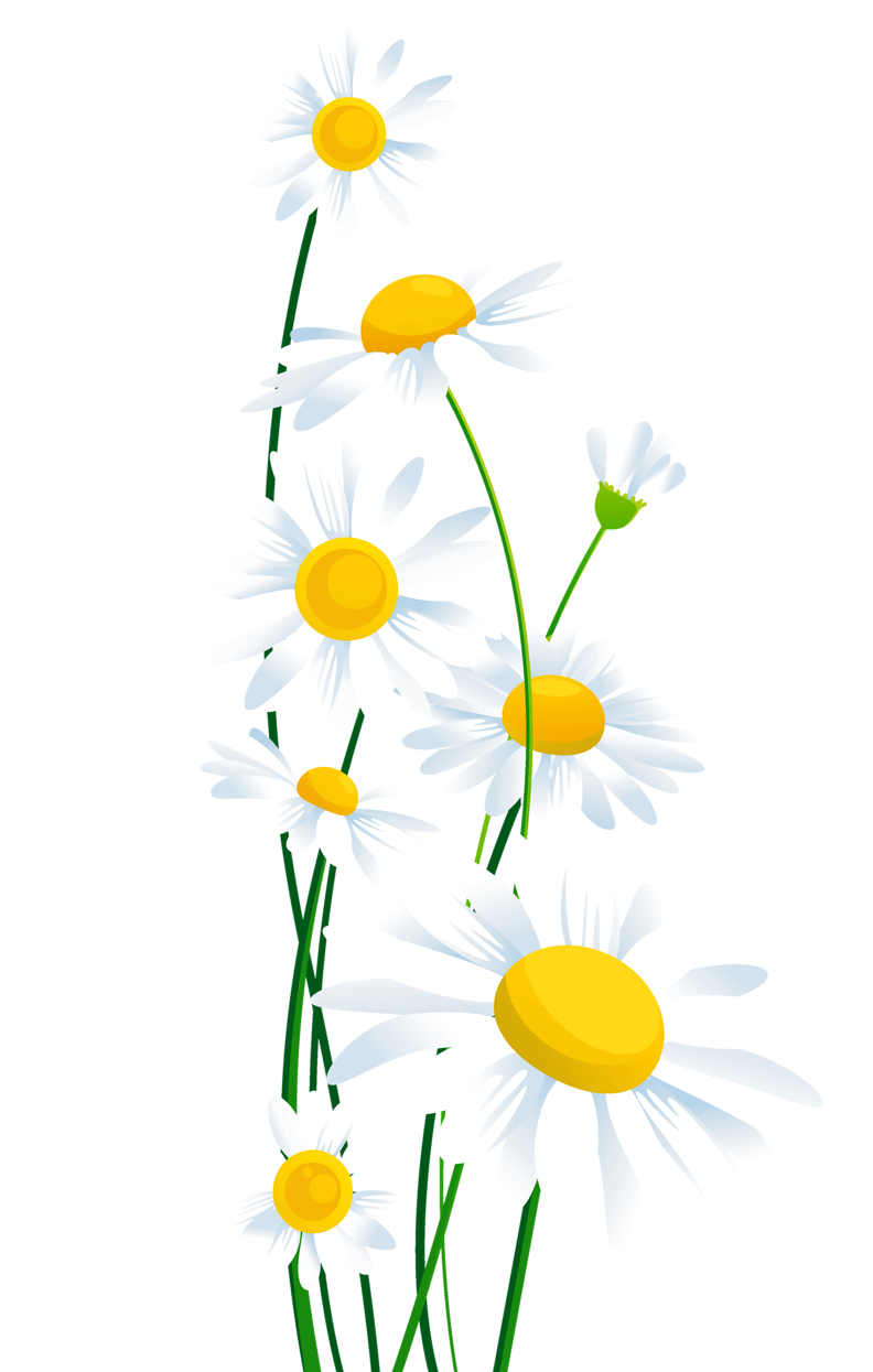 Transparent white daisies png. Words clipart spring