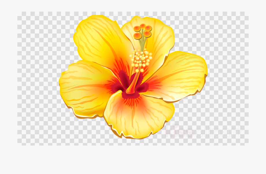 Hibiscus transparent image free. Flower clipart tropical