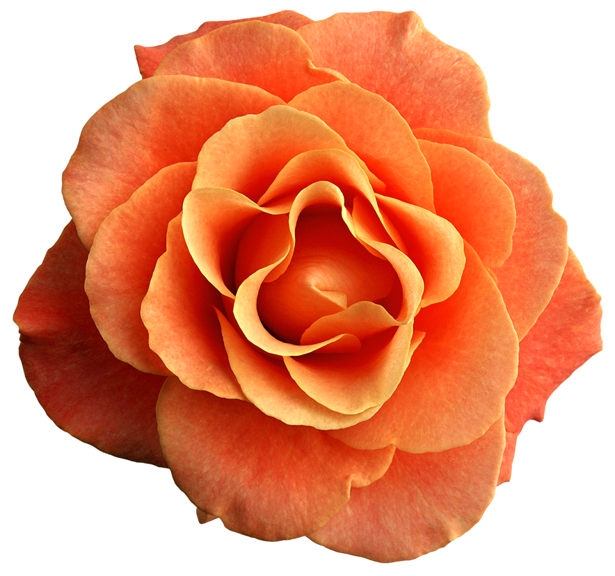 Color clipart peach. Orange rose png image