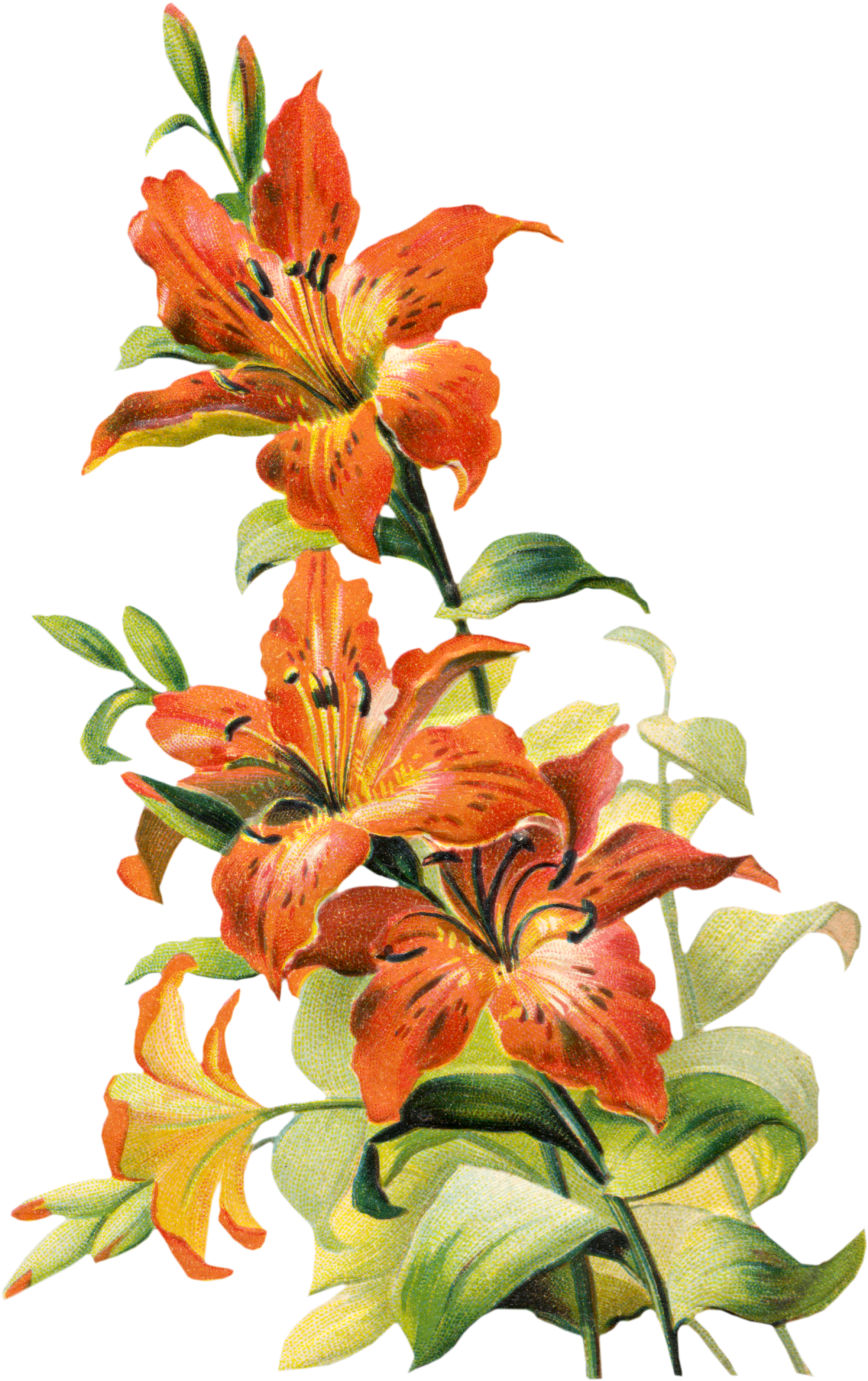 Free tiger lily flower. Clipart flowers vintage