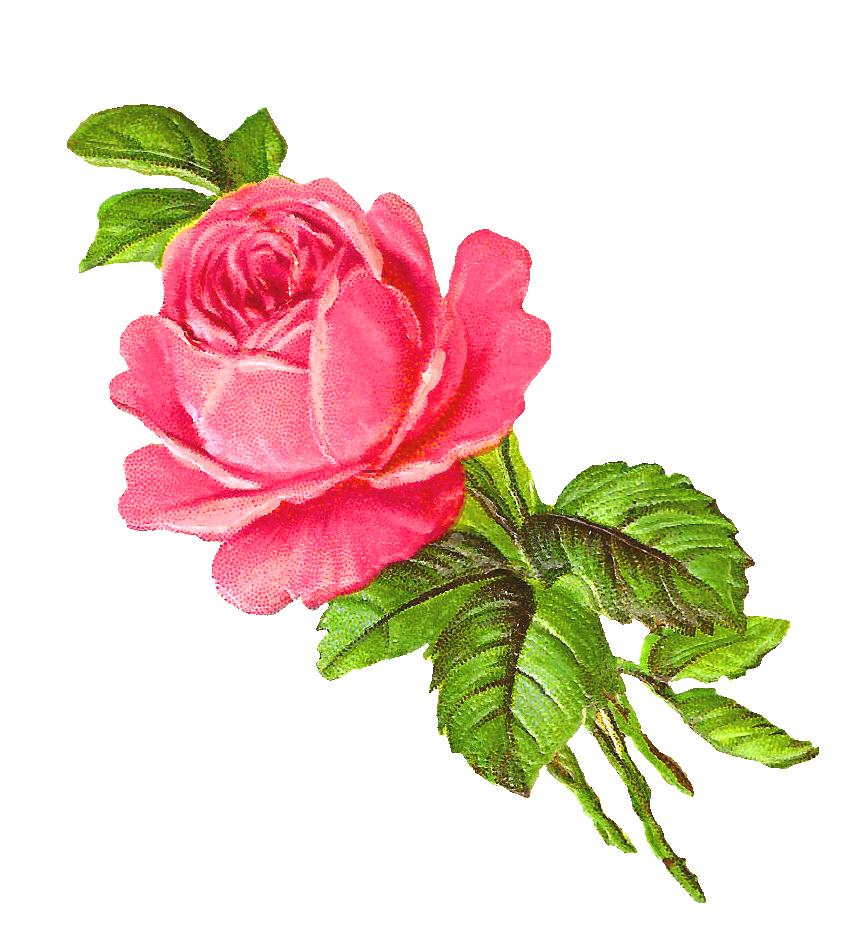 Clipart rose illustration. Pink clip art scrapbook