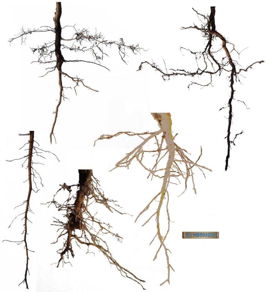Roots clipart plant root. Stock pack by hb