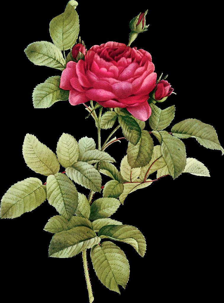 Flower buds png flowerclipartvintagebudspng. Clipart flowers vintage