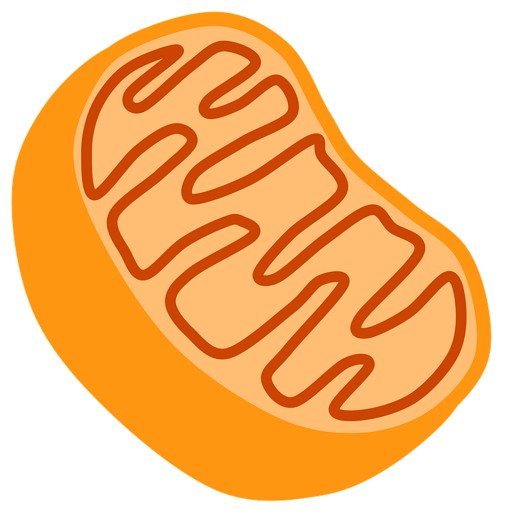 Cellular respiration kinesthetic activity. Focus clipart food
