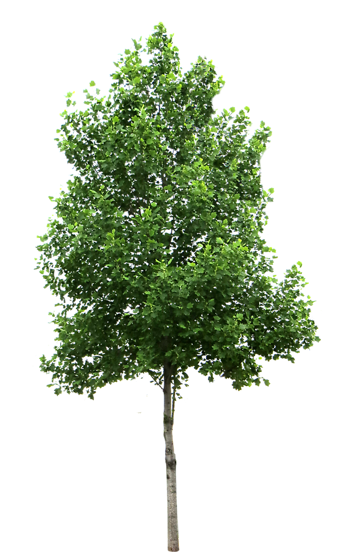 Small png studio dumbo. Leaf clipart birch tree
