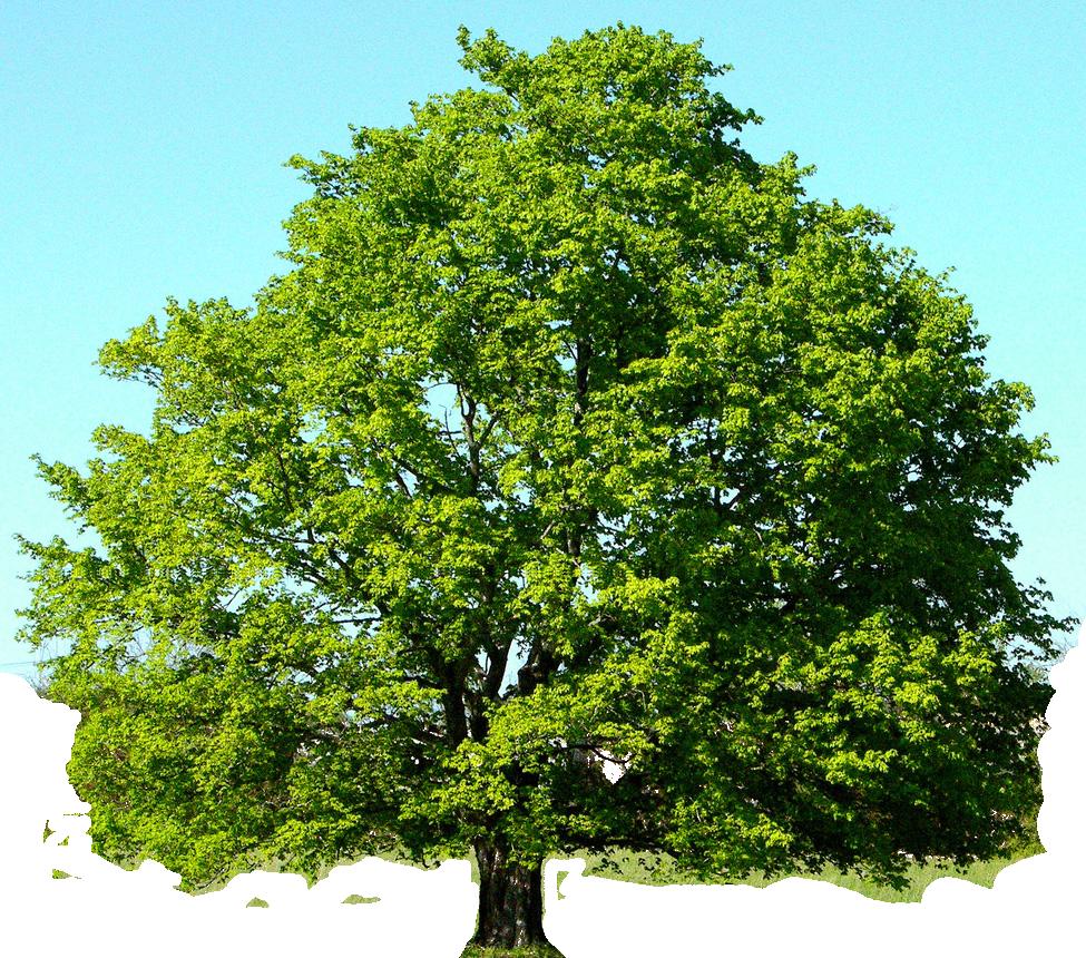 Clip art sillhouettes masked. Tree clipart oak