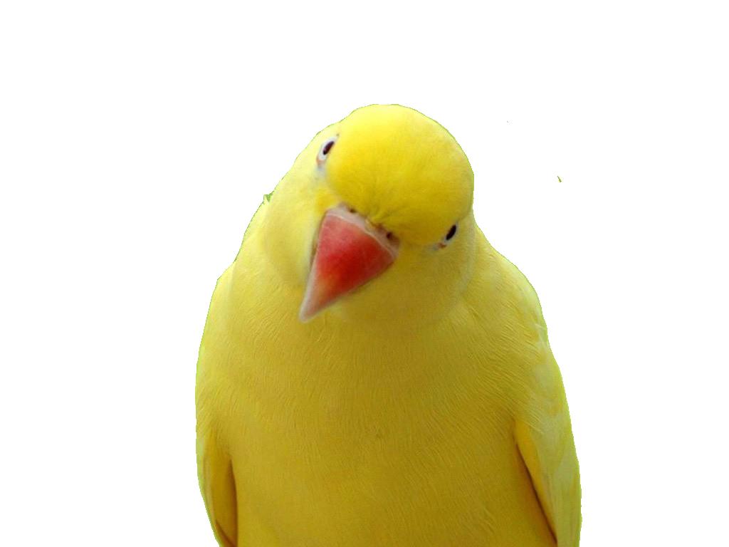 Png animals zoo pinterest. Pet clipart yellow parrot