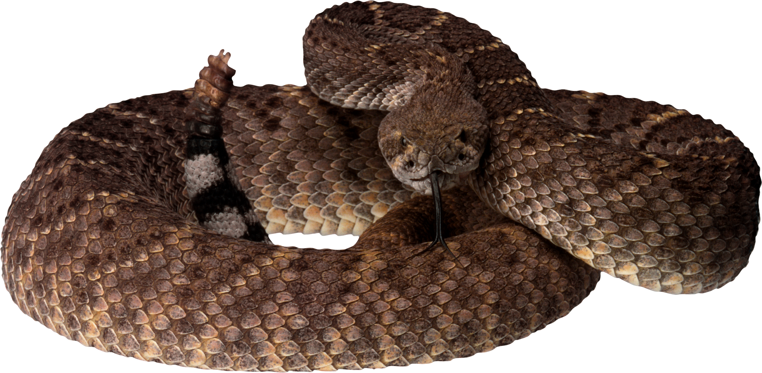 Snake clipart forest animal. Png pinterest and