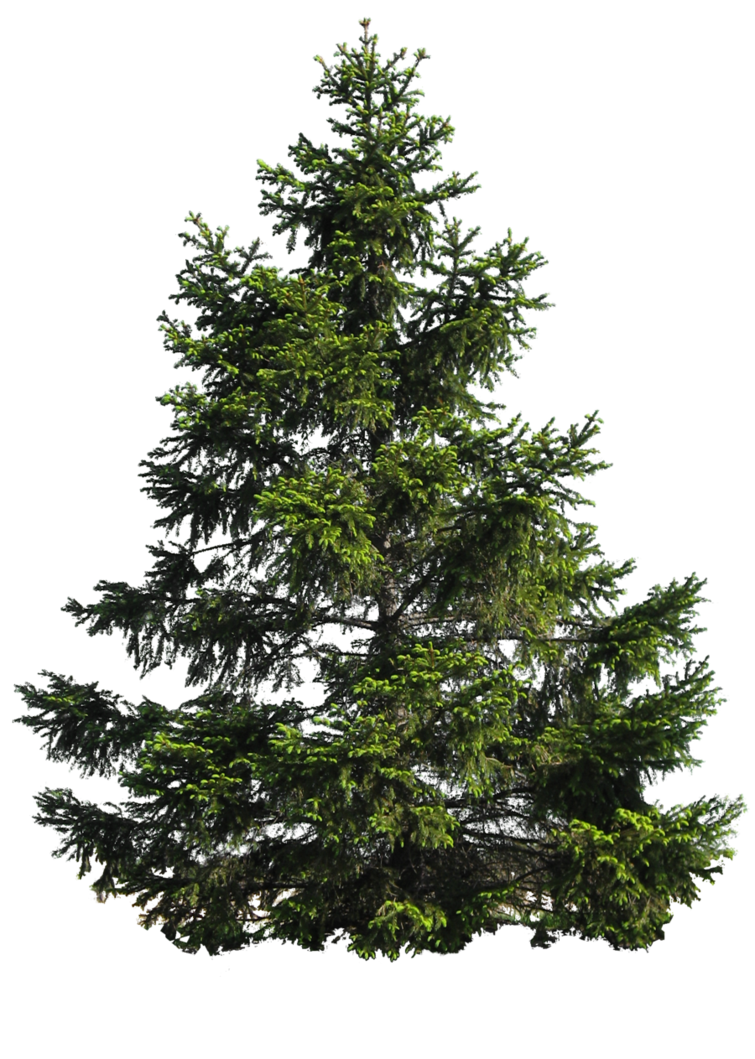 Pine tree png by. Clipart forest texture