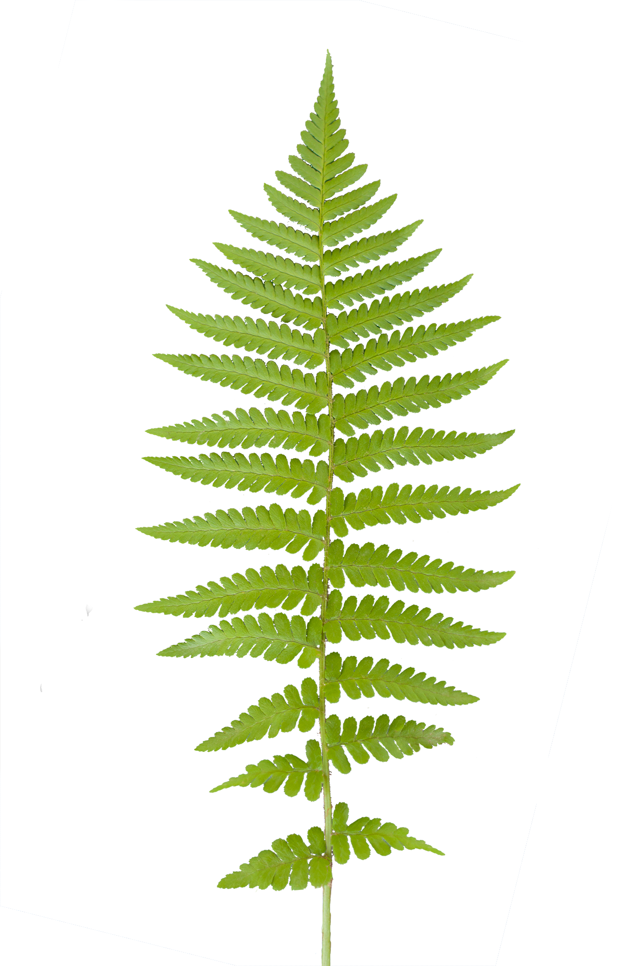 Clipart forest texture. Paramecij s vegetation base