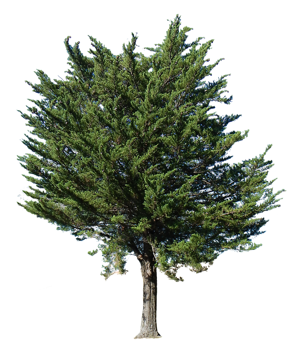 Free pine tree transparent. Clipart forest texture