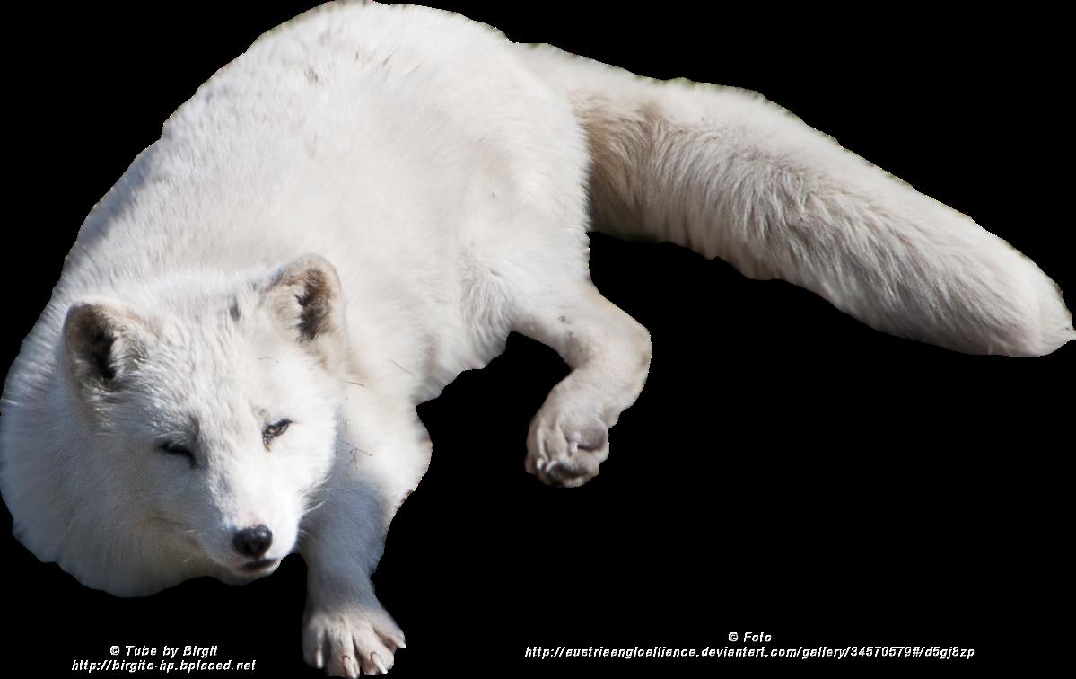 Png . Clipart fox arctic fox