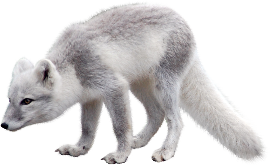 Snow png image purepng. Clipart fox arctic fox