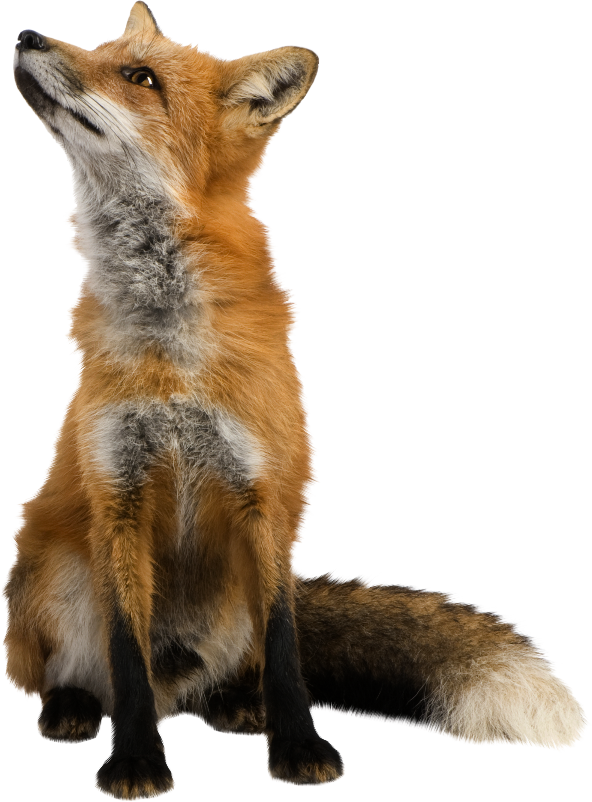 Isolated photos of red. Fox clipart realistic