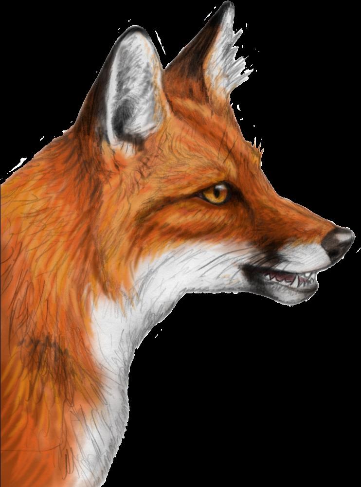 Fox clipart realistic. Hd png head drawing